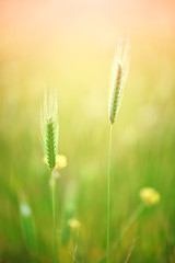 Close up of grain field in summer.