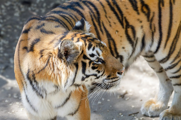 animal beautiful young tiger