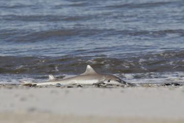 Toter Baby Hai am Strand von Lido Beach (NY)