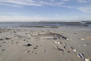 Kleiner toter Hai am Strand von Lido Beach (NY). Rettet unsere Gewässer