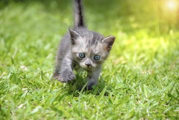 Kitten walk on green grass.
