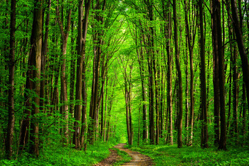 Wall Murals Road in forest forest trees. nature green wood sunlight backgrounds. sky