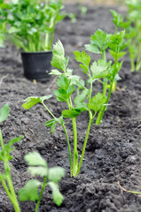 freshly planted celery seedlings in the vegetable garden, vertical composition