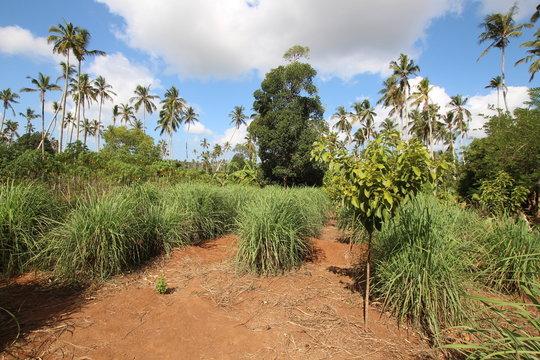 Lemongrass, Cymbopogon / Zanzibar, Tanzania, Indian Ocean, East Africa