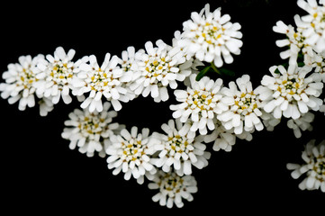 White flowers on black background