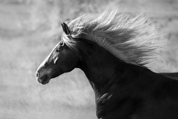 Horse portrait with long mane in motion. Black and white