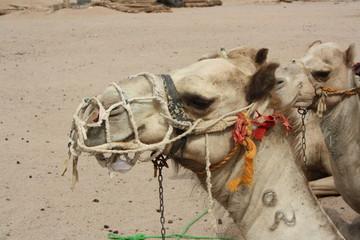 Kamel mit Halfter in der Wüste