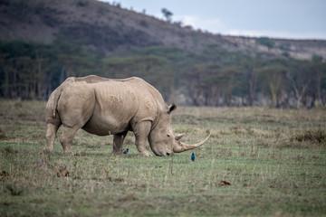 Foto auf Gartenposter Nashorn White Rhino in Lake Nakuru, Kenya
