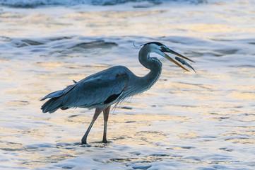 Blue Heron catching Fish