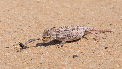 Namaqua Chameleon feeding , Swakopmund, Namibia