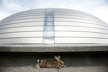 A pet rabbit sits in front of the National Centre for the Performing Arts in Beijing
