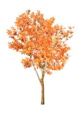 one orange autumn tree isolated on white
