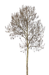 bare grey alder isolated on white