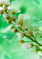 Abstract background, spring landscape,blooming birdcherry tree closeup with green leaves on a delicate light green background