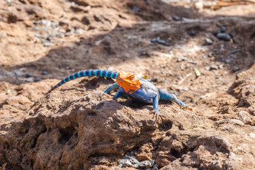 Red-headed rock lizzard from East Africa