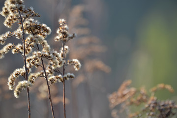 Dry fragrant plant. Close-up