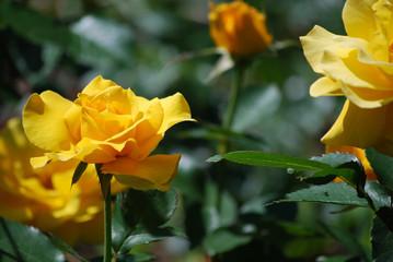 Very Pretty Flowering Yellow Rose Bush in Bloom