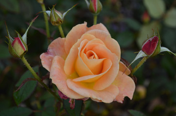 Peach Rose Surrounded by Rosebuds in a Garden