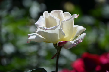 Prettyl Flowering White Rose Blossom in a Garden