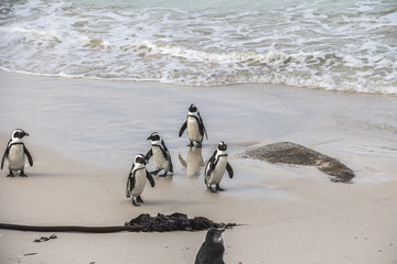 Cute penguins together on Boulders beach, Cape Town