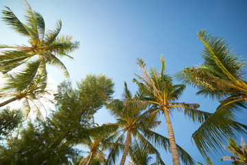 Branches of coconut palms under blue sky , Rawa island , Malaysia .