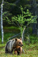 Bear in Spring