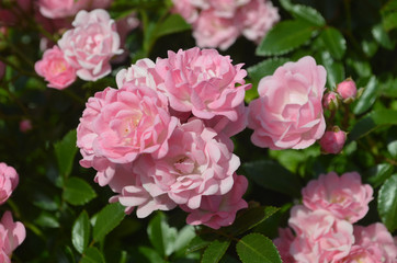 Beautiful Pink Rose Garden with Flowering Roses