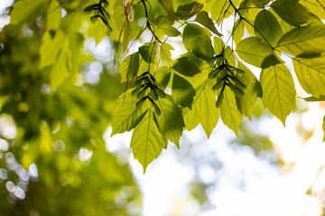 Spring and summer sunlights brings from fresh green lieves