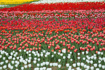 Field of very beautiful flower tulips of different colors