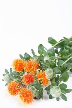 Safflower Carthamus tinctorius plant isolated on white background