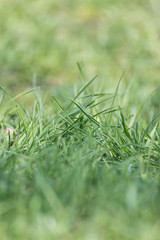 meadow glade with green grass in macro