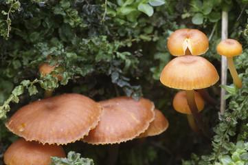 Flammulina velutipes mushrooms