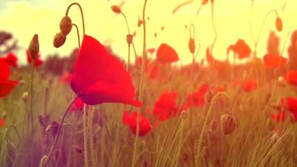 Fotoväggar - Poppy flowers field. Rural landscape with red  blooming poppies. Slow motion video footage 4K UHD video 3840X2160