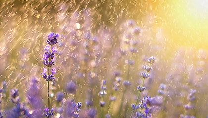 Summer rain in the field with purple lavender flowers