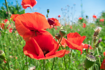 Red poppies in wind / Poppy flowers in bright sunny windy day