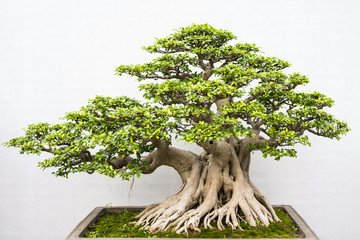 Foto op Plexiglas Bonsai Exotic bonsai trees cultivated for decoration