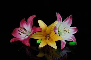 Red orange and red and white lilies on black background