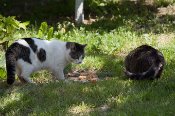cats in the yard eating