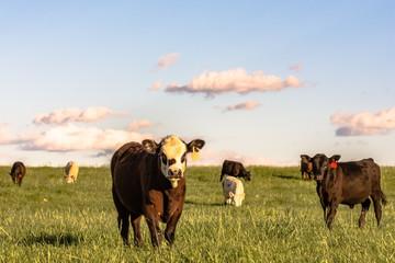 Stocker cattle in rye grass pasture - horizontal Wall mural