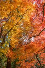 Colorful maple (momiji) leaves at Korankei, Nagoya, Japan.