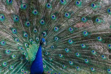 Peacock found in the Sveti Naum monastery on Ohrid lake, Macedonia (FYROM)