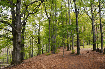 Beech forest, Berlin and Brandenburg, Germany