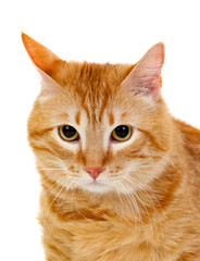 Adult red cat with overweigh