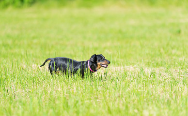 Dachshund dog in the park