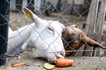 Photo of a two goats behind wire mash