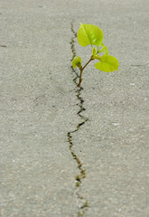 plant grows from a crack in the asphalt