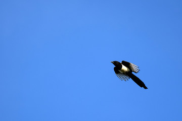 Eurasian magpie flying on clear blue sky. Horizontal image.