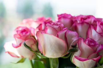 Roses, lit by the sun, bokeh