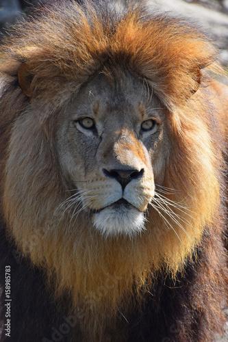 Close up portrait of African lion