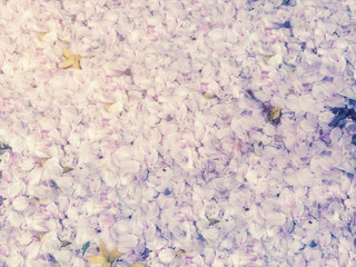 Wall Mural - Cherry blossom Petals falling on the ground in spring for background